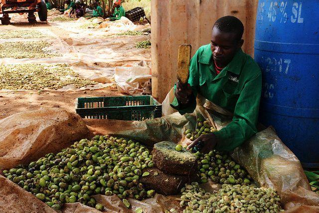 Trabajador en el vivero de Better Globe Forestry en Kenia. (Foto: Andrew Wu/WRI)